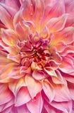 Duży różowy dalii tło zdjęcie royalty free