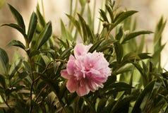 Duży różowy peonia kwiat w ogródzie Obraz Royalty Free