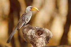 Duży rachunku ptak od Afryka Południowi Wystawiający rachunek dzioborożec, Tockus leucomelas, portret popielaty i czarny ptak z d obraz stock