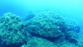 duży rybi grouper zdjęcie wideo