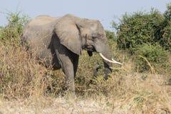 duży słoń Zdjęcie Royalty Free