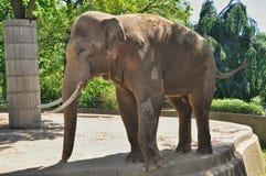duży słoń Obrazy Stock