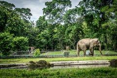 Duży słoń w klatce z basenu otaczaniem ogrodzeniem i drzewo fotografią brać w Ragunan zoo Dżakarta Indonezja fotografia royalty free