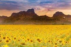 Duży słonecznikowy pełnego kwiatu pole z górą Obraz Royalty Free