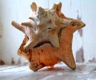 Duży seashell Fotografia Royalty Free
