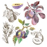 Duży set akwareli śliwki owocowa gałąź odizolowywająca na białym tle Ręka rysujący obraz Liniowy nakreślenie botaniczny Obraz Royalty Free