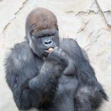 Duży silverback goryl zdjęcie royalty free