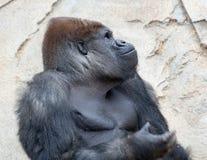 Duży silverback goryl obrazy stock