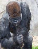 Duży silverback goryl zdjęcia stock