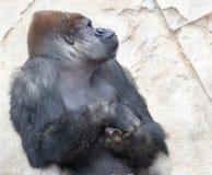 Duży silverback goryl obraz royalty free