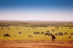 Duży stado błękitni wildebeests wypasa przy sawanną Fotografia Royalty Free