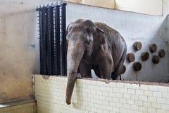 Duży stary Azjatycki słoń obraz stock