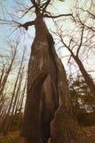 Duży stary drzewo w wiośnie Obraz Royalty Free
