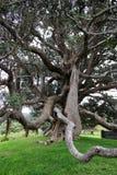 Duży stary drzewo z szalonymi gałąź wieszać korzenia niskiego pozioma gałąź drzewo dziwny obrazy royalty free