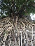 Duży stonewall drzewa na stonewall obszar miejski fotografia stock