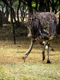 Duży struś w zoo Obrazy Royalty Free