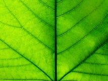 duży szczegółu zieleni liść fotografia Obrazy Royalty Free