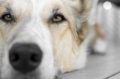Duży szczeniaka psa Śmieszny obrazek Zdjęcie Royalty Free