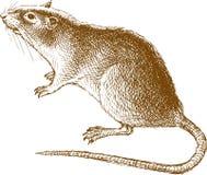 duży szczur Zdjęcia Royalty Free
