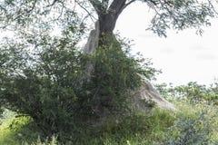 Duży termitu wzgórze w Kruger parku, Południowa Afryka Fotografia Royalty Free