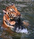 Duży tygrys pływa w jeziorze na gorącym dniu, Tajlandia Obraz Royalty Free