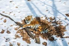 Duży tygrys w śniegu piękny, dziki, pasiasty kot w otwartych drewnach, patrzeje bezpośrednio przy my Fotografia Stock