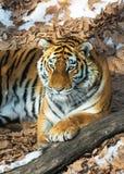 Duży tygrys w śniegu piękny, dziki, pasiasty kot w otwartych drewnach, patrzeje bezpośrednio przy my Obrazy Royalty Free