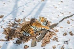 Duży tygrys w śniegu piękny, dziki, pasiasty kot w otwartych drewnach, patrzeje bezpośrednio przy my Fotografia Royalty Free