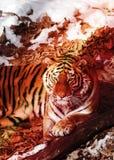 Duży tygrys w śniegu piękny, dziki, pasiasty kot w otwartych drewnach, patrzeje bezpośrednio przy my Zdjęcia Royalty Free