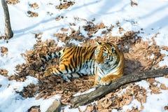 Duży tygrys w śniegu piękny, dziki, pasiasty kot w otwartych drewnach, patrzeje bezpośrednio przy my Obraz Royalty Free