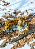 Duży tygrys w śniegu piękny, dziki, pasiasty kot w otwartych drewnach, patrzeje bezpośrednio przy my Obrazy Stock