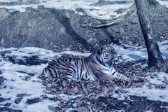 Duży tygrys w śniegu piękny, dziki, pasiasty kot w otwartych drewnach, patrzeje bezpośrednio przy my Zdjęcia Stock