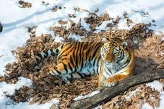 Duży tygrys w śniegu piękny, dziki, pasiasty kot w otwartych drewnach, patrzeje bezpośrednio przy my Obraz Stock