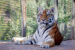 Duży tygrys w zoo obraz stock