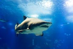 Duży tygrysi rekin w wolnym zbliża się sposobie Obrazy Royalty Free
