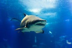 Duży tygrysi rekin w wolnym zbliża się sposobie Zdjęcia Royalty Free