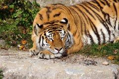 Duży tygrysiego kota dosypianie Fotografia Royalty Free