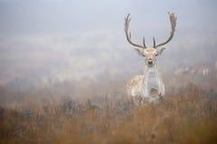 Duży ugoru jeleń zdjęcia stock