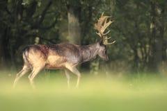 Duży ugoru rogacza jeleń chodzi w lesie z wielkimi poroże fotografia royalty free