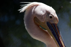 Duży usta ptak fotografia royalty free