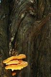 Duży złocisty jadalny drzewny grzyb obraz stock