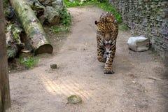 Duży zły Bengalia tygrys chodzi wokoło Obraz Royalty Free