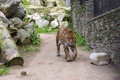 Duży zły Bengalia tygrys chodzi wokoło Fotografia Stock