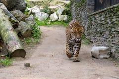 Duży zły Bengalia tygrys chodzi wokoło Obrazy Stock