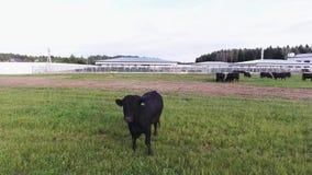 Duży zdrowy byk wędruje na zieleń fechtującym się paśniku w terenie nowożytny zwierzęcy gospodarstwo rolne zbiory wideo