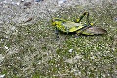 duży zielona szarańcza zdjęcia royalty free