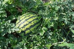 Duży Zielony arbuza dorośnięcie w ogródzie obraz stock