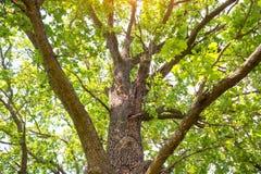 duży zielony dębowy drzewo Obraz Stock