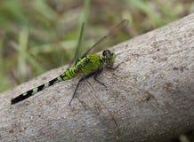 Duży zielony dragonfly Obrazy Royalty Free