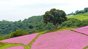 Duży zielony drzewny narastający na kwitnie różowym petunia kwiatów ogródzie samotnie fotografia stock